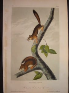 Richardsons Columbian Squirrel Print by JJ Audubon.