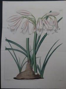 Ridgeway Hart Lily plate 623