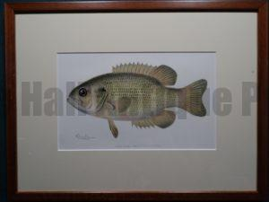 Rock Bass by Denton Framed $115. with free US shipping