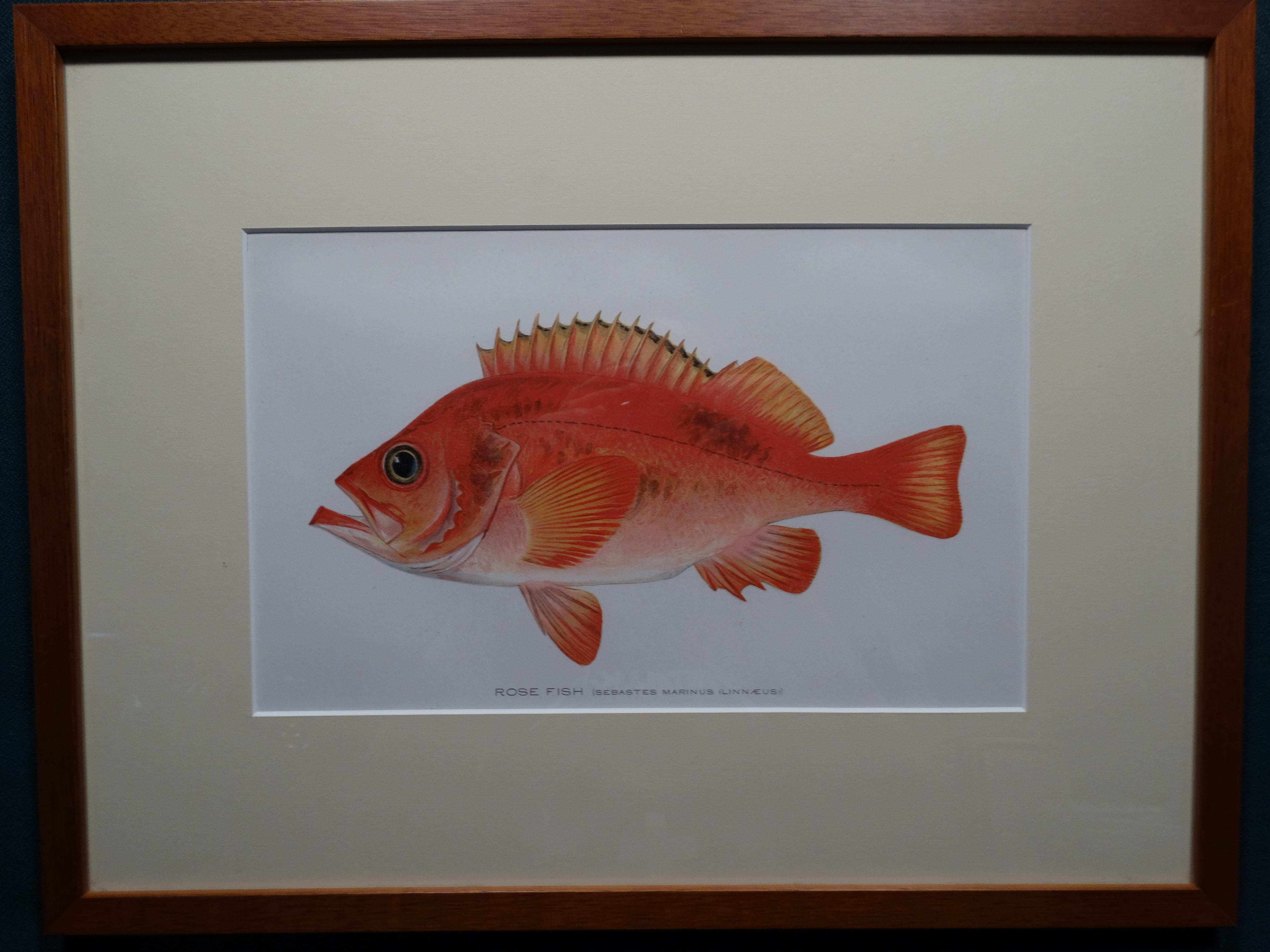 Rose Fish by Denton Framed $115. with free US shipping
