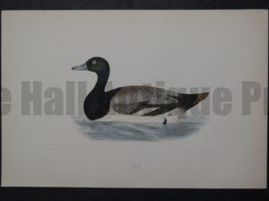 Scaup, 1890. $45.