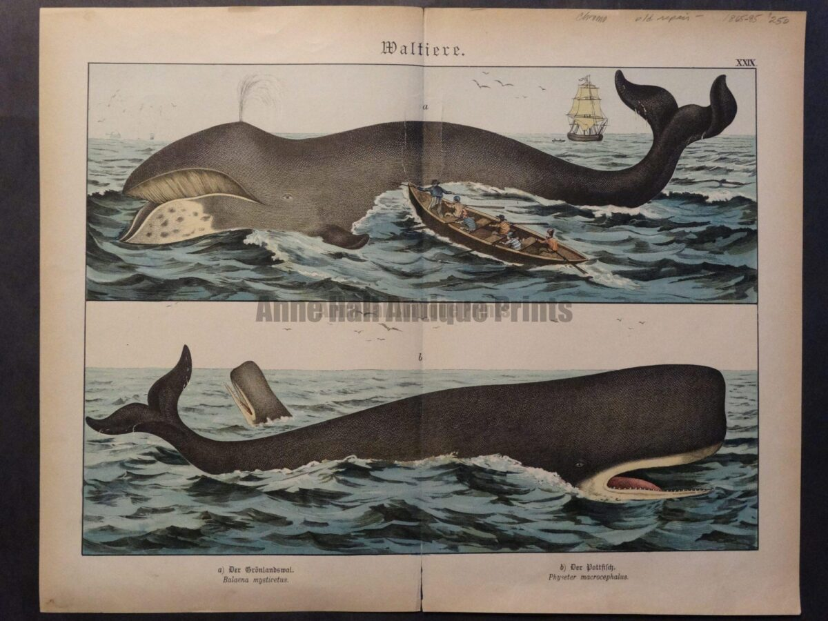 Large antique lithograph in colors, Baleen and toothed whales depicted and whaleboat.