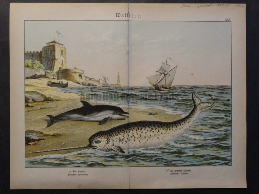 19th century narwhale lithograph in colors.