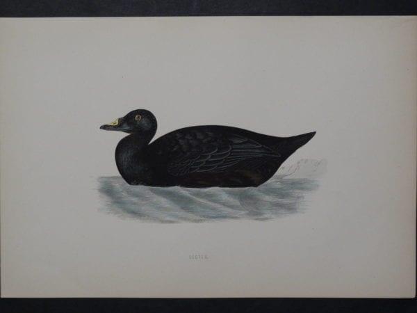 Scoter, 1890. $45.