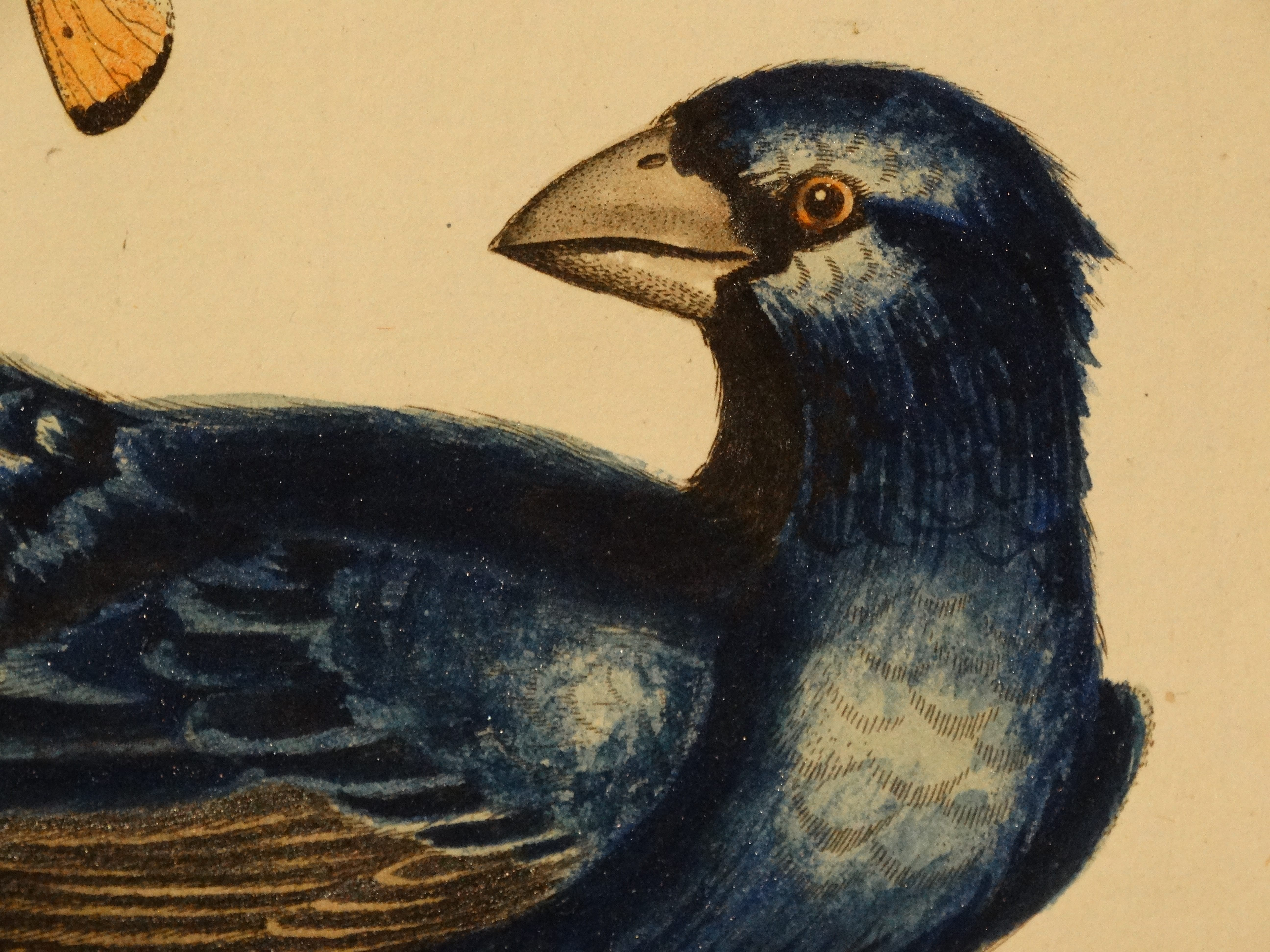 Seligmann Song Bird Engravings with George Edwards