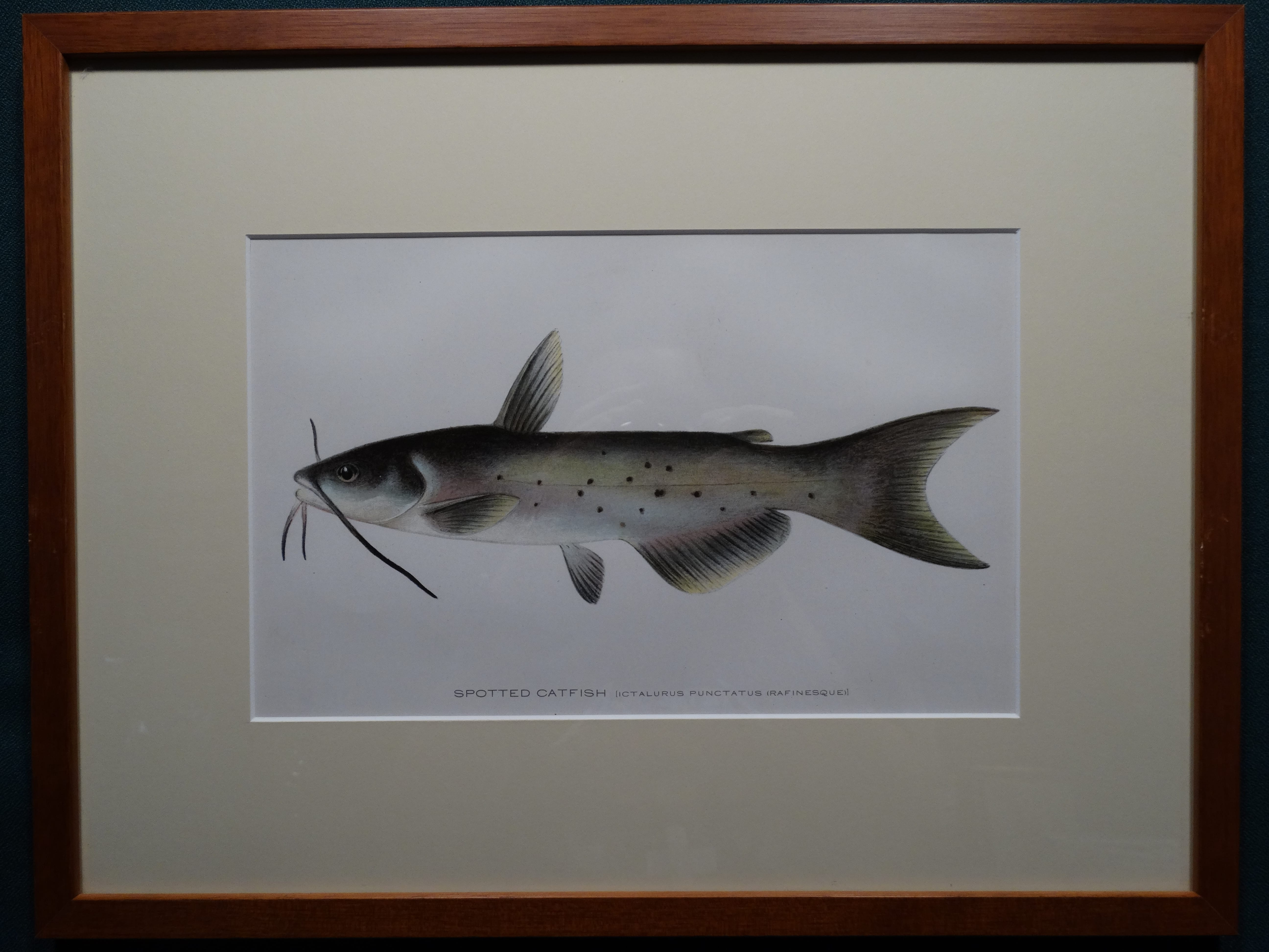 Spotted Catfish by Denton Framed $165. with free US shipping