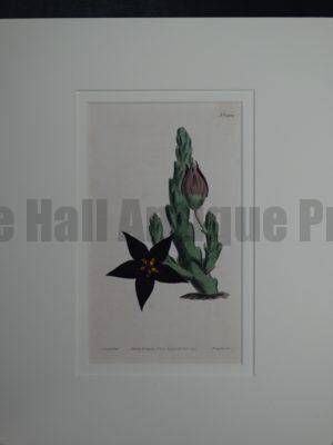 Stapelia by Curtis #1234