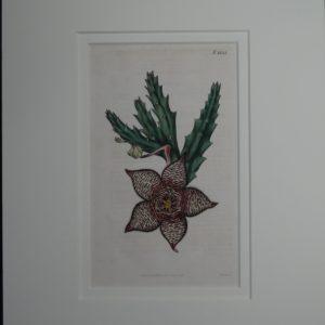 Stapelia by Curtis #1833