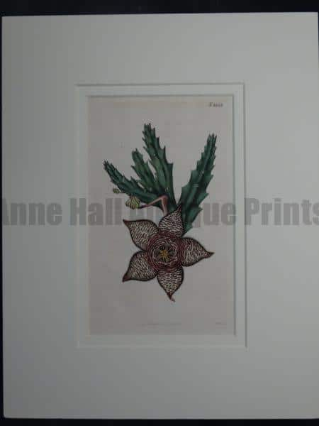 Stapelia by Curtis #1833