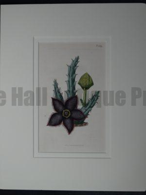 Stapelia by Curtis #1839