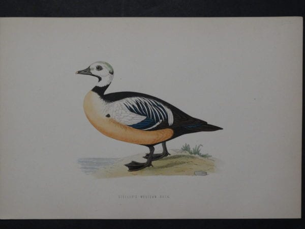 Steller's Western Duck, 1890. $45.