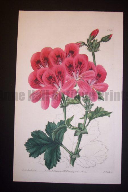 Sweet Geranium 229