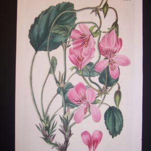 Sweet Geranium Print 235