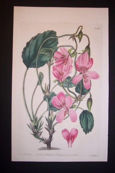 200 year old Robert Sweet Geranium Engraving 235