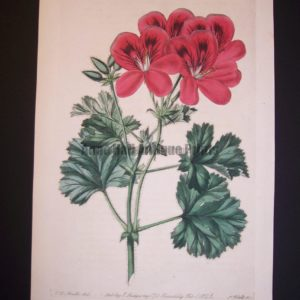 robert sweet geranium engraving from 1820's plate 248