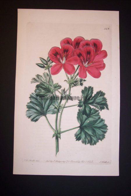 robert sweet geranium engraving from 1820's plate 248