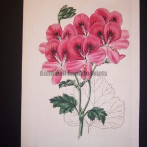 Robert Sweet early 19th century engraving Geranium 269