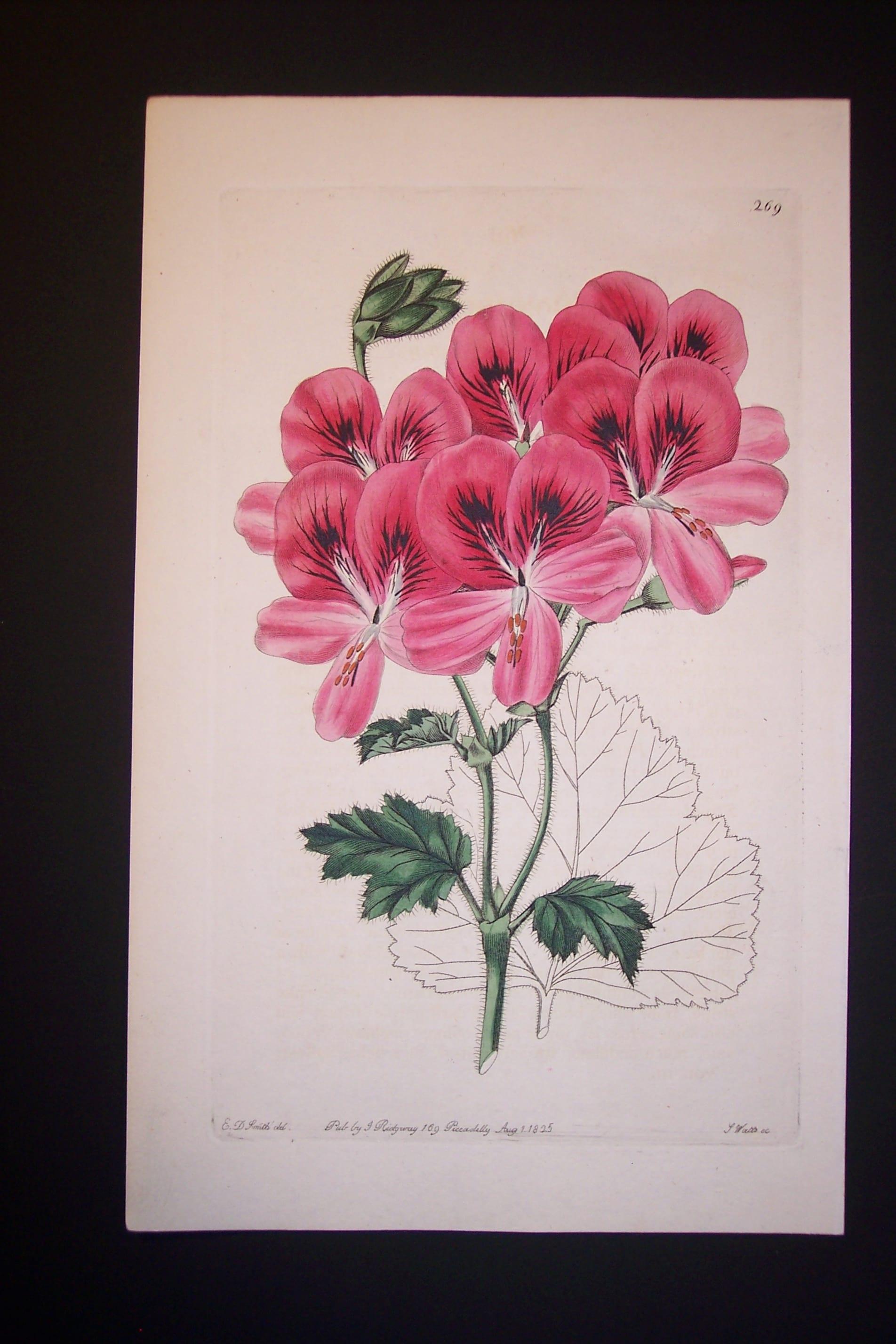 Sweet Geranium 269