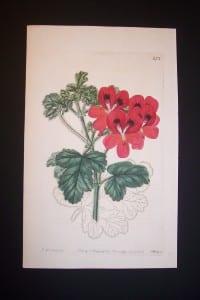 Sweet Geranium Print 272