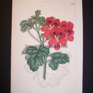 Robert Sweet Geranium Engraving plate 272