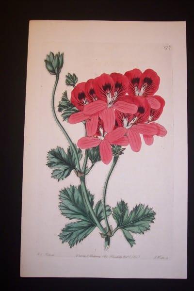 robert sweet antique engraving of geranium 277
