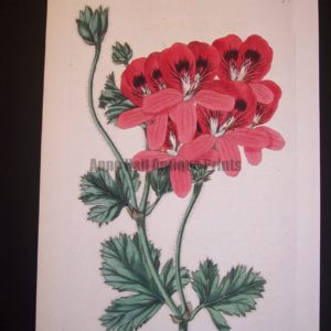 robert sweet antique engraving of geranium 277