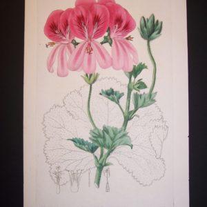 Sweet Geranium 30