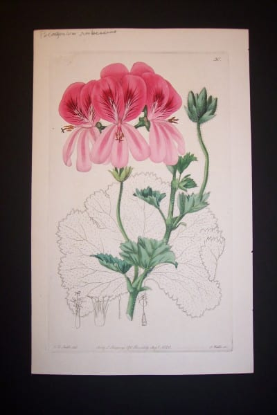 Sweet Geranium engraving from the 1820's. Plate 30