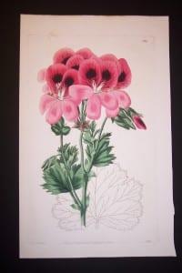 Sweet Geranium 384