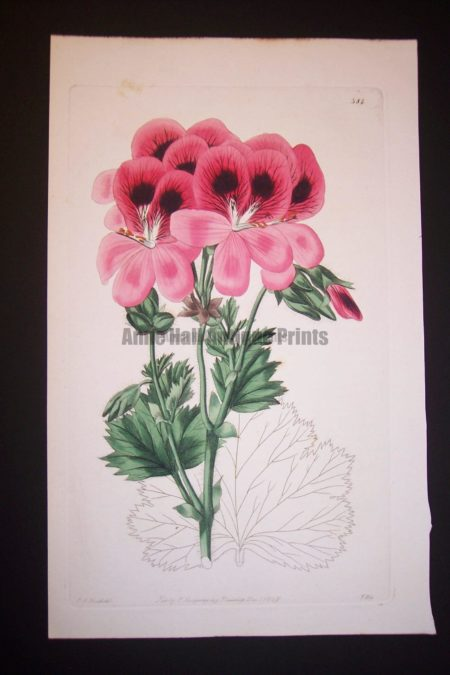 Fantastic watercolor engraving of geranium from the 1820's