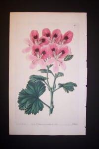 Sweet Geranium Print 340