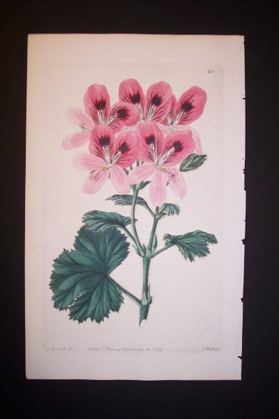 Sweet Geranium Print from the 1820's plate 340