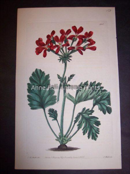 c.1830 Sweet Geranium or Pelargonium. Plate 261. 150.