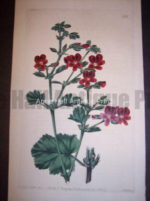 Sweet Geranium or Pelargonium hand colored engraving