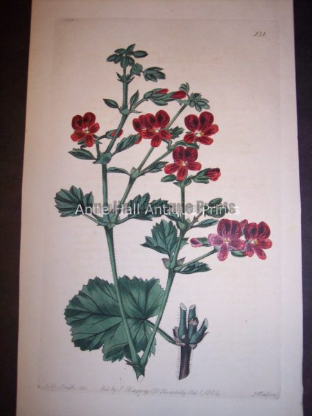 Sweet Geranium or Pelargonium hand colored engraving