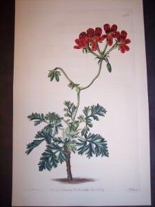 Sweet geranium