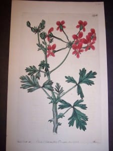 Sweet Geranium Print Pl. 298 100.