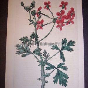 Sweet Geranium Print Pl. 298