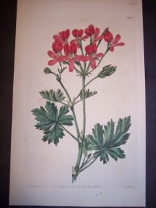 1801 Antique print by Robert Sweet of Geranium or Pelargonium. Plate 289. 135.