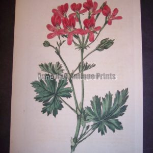 1801 Antique print by Robert Sweet of Geranium or Pelargonium. Plate 289.