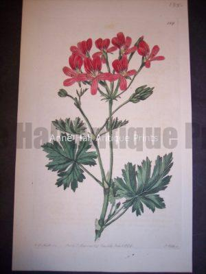 1801 Antique print by Robert Sweet of Geranium or Pelargonium. Plate 289.
