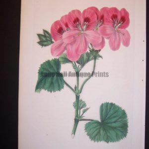 robert sweet geranium plate 94