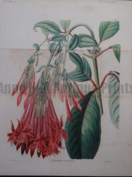 Sweet Miss Drake Fuchsia plate 29