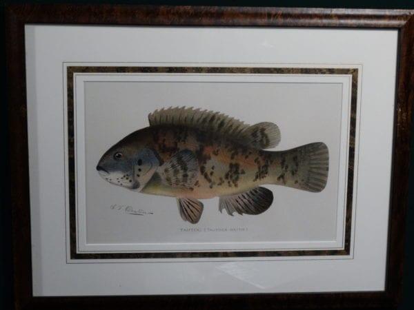 Framed Sherman Foote Denton Tautog