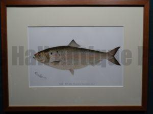 The Shad by Denton Framed $115. with free US shipping