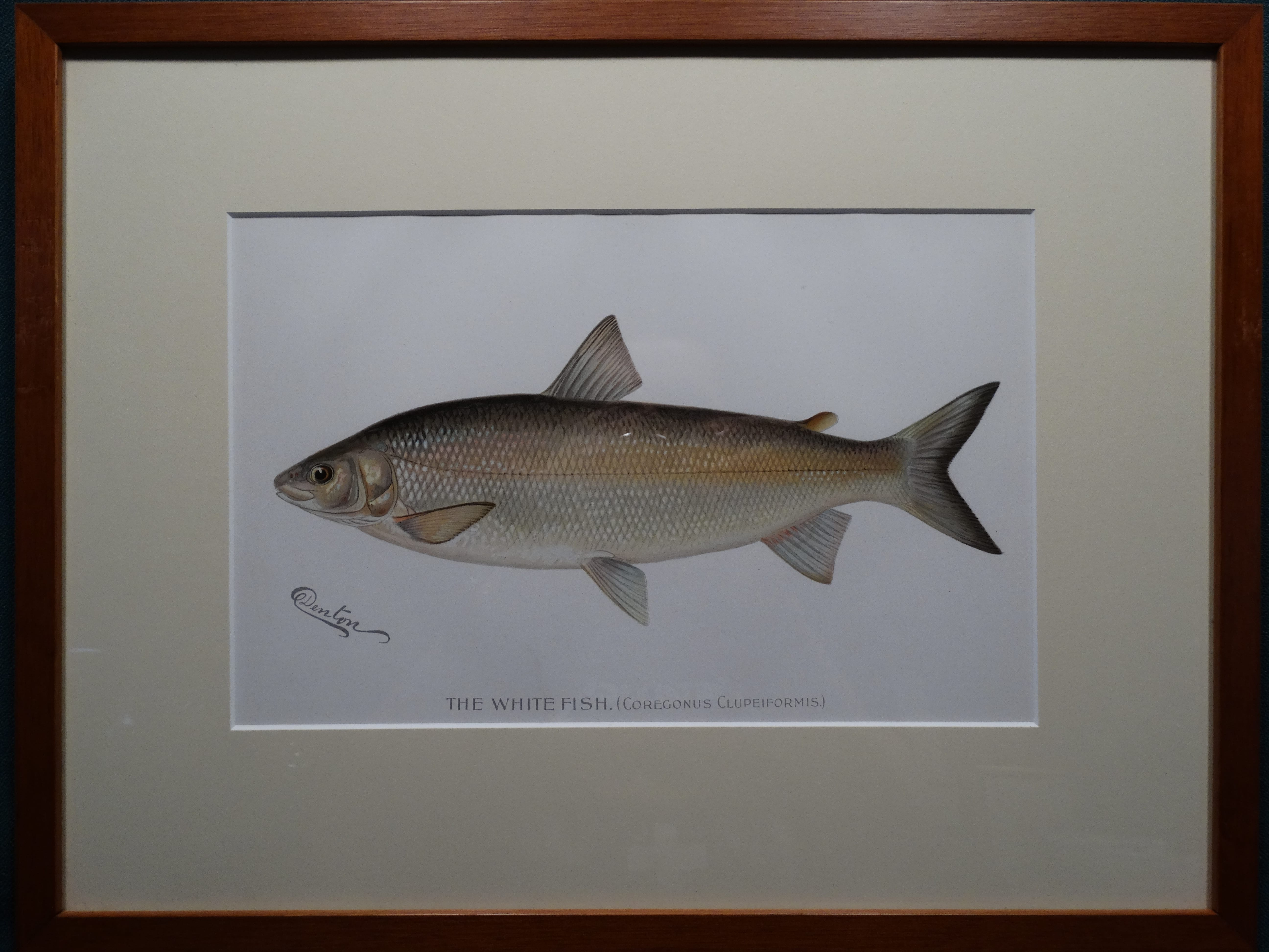 The White Fish by Denton Framed $115. with free US shipping