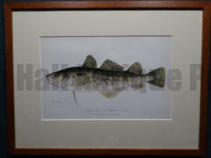 Tomcod or frost fish by Sherman Denton Framed $115. with free US shipping