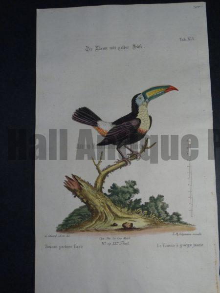 Toucan pectore flavo or the yellow throat Toucan by George Edwards and Dr. Seligmann.  A delightful 18th Century antique engraving with original color.