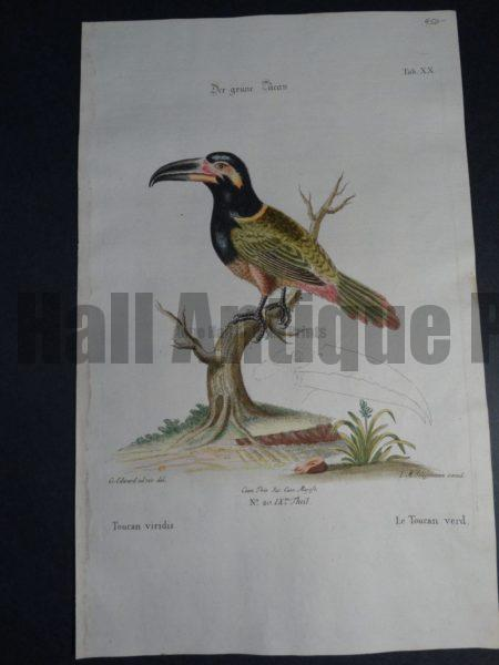Toucan viridis or Le Toucan verd or  Green Toucan by George Edwards