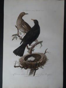 Turdus Ater Merula Nest